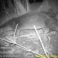A wild otter is seen in this image captured on Nagasaki Prefecture's Tsushima Island in February. | UNIVERSITY OF THE RYUKYUS / VIA KYODO