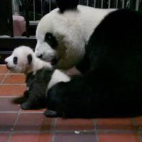 A 2-month-old baby panda and her mother, Shin Shin, are seen at Ueno Zoo in Tokyo on Friday. | REUTERS
