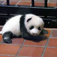 Record 322,581 suggestions received for naming Ueno Zoo's panda cub