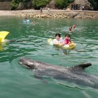 Visitors swim with a whale off the beach of Taiji, Wakayama Prefecture, in July. | KUMANO SHIMBUN / VIA KYODO