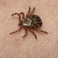 Medical experts are urging caution amid a rising number of potentially fatal infections that can be contracted through tick bites. | ISTOCK