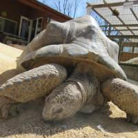 Aboo, the giant tortoise which ran away from a zoo in Okayama Prefecture, is shown in this photo taken in July at Shibukawa Animal Park in Tamano, Okayama Prefecture. | COURTESY OF SHIBUKAWA ANIMAL PARK / VIA KYODO
