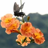 Alighting: A butterfly stops in at the Chinese Trumpet Creepers growing around Sengan-en. | KIT NAGAMURA