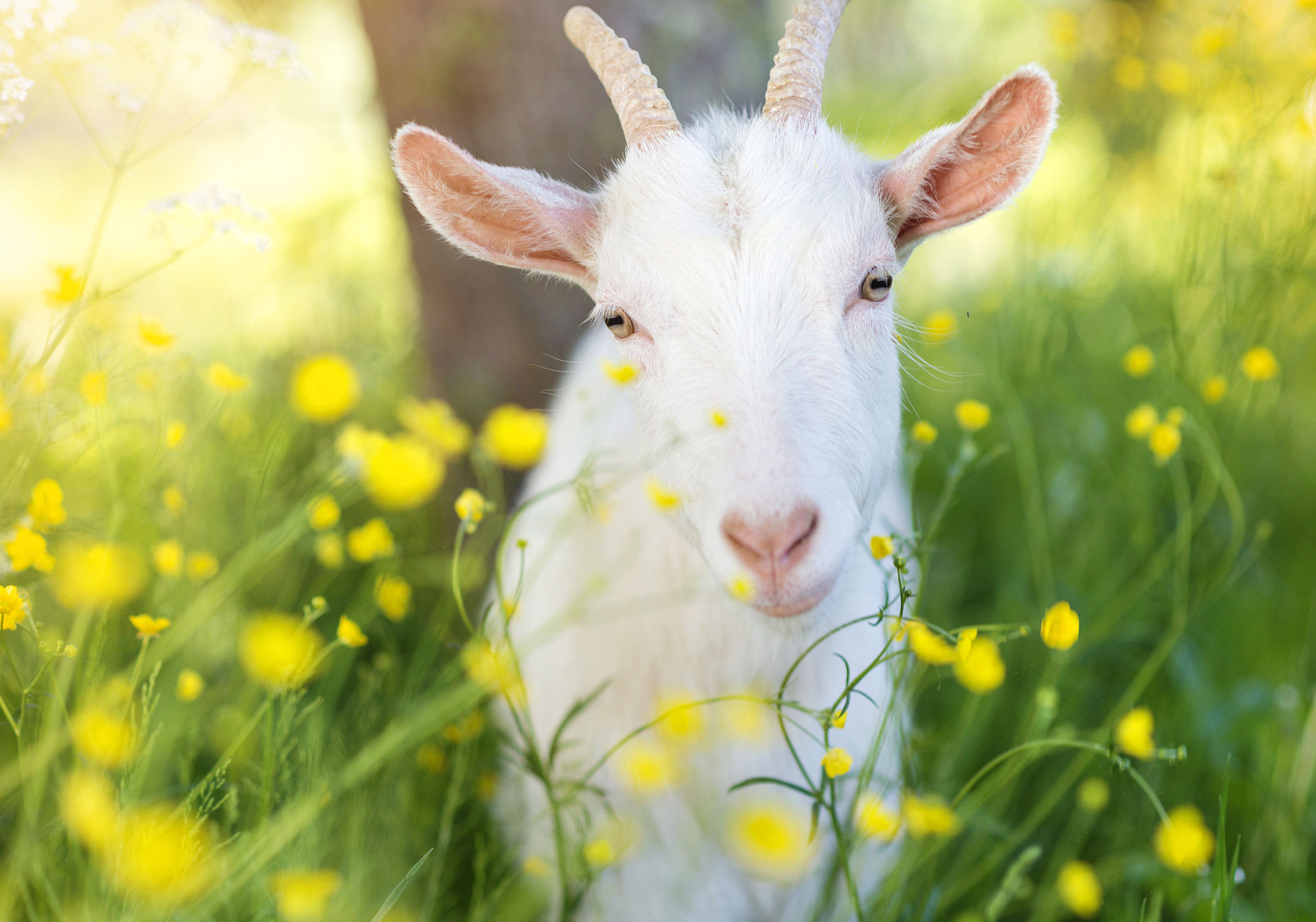 Communication gone wrong:  How many hours might the goats in the children's song spend trying to figure out what was mentioned in their letters? Nan-jū-jikan or jū-nan jikan? | ISTOCK