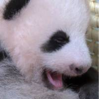 [VIDEO] Panda cub at Tokyo's Ueno Zoo turns 2 months old