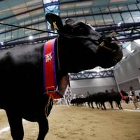 Award-winning cattle are showcased at the 11th National Japanese Beef Ability Expo, commonly known as the Wagyu Olympics, in Sendai on Monday. | REUTERS
