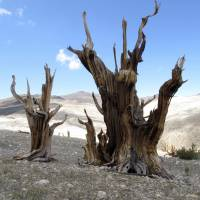 Future of oldest tree species on Earth in peril
