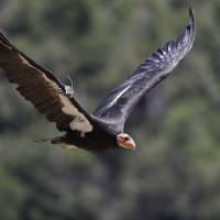 California condors stage comeback to the skies after near extinction but vigilance needed