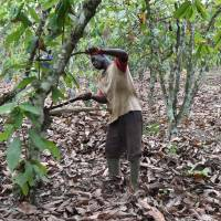 Is your chocolate craving destroying forests in West Africa?