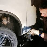 Koala survives trip in wheel well