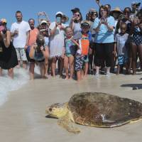 'Flagships' of oceans' health, huge sea turtles slowly crawling back from brink of extinction