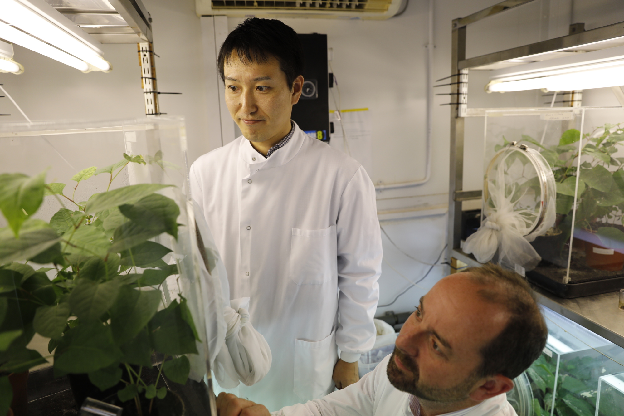 Dick Shaw, country director for CABI, and research scientist Daisuke Kurose study psyllids on a Japanese knotweed plant in a laboratory in Egham, England, on Aug. 30. | KYODO