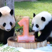 Baby panda Yuihin (right) looks at a pink ice cake shaped like a '1' on Monday, her first birthday, together with her mother, Rauhin. The cake was a gift from zoo workers. | KYODO