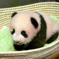 At 100 days old, Ueno Zoo's panda cub takes a few wobbly steps