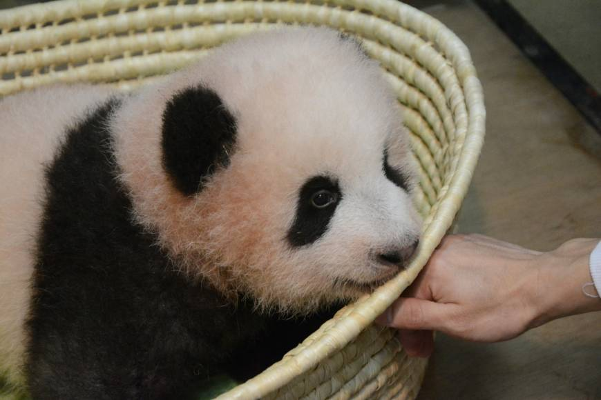 The public has spoken: Xiang Xiang is the name of Ueno Zoo's newest star