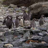 Humboldt penguins stand on the shore near Punta Choros on Damas Island, Chile, on Sept. 4, 2017. | AFP-JIJI