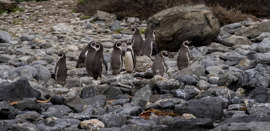 Penguins are winners in first round of Chile mine project battle