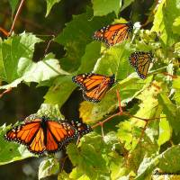 Heat, strong headwinds trapping monarch butterflies up north at southbound migration time: scientists