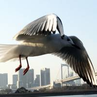 'Flying over Odaiba,' a close-up photo of a seagull in Tokyo's Odaiba district, wins Mohammed Rachad Bouhlal, the ambassador of Morocco, a Jury Special Mention award at the 20th Japan through the Diplomats' Eyes photo competition. | MOHAMMED RACHAD BOUHLAL