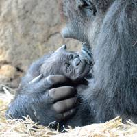 A western gorilla named Momoko holds her baby at Tokyo's Ueno Zoo on Monday after giving birth the same day. | TOKYO ZOOLOGICAL PARK SOCIETY / VIA KYODO