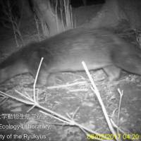 A river otter is captured in an infrared camera image taken on the island of Tsushima in Nagasaki Prefecture in February. | UNIVERSITY OF THE RYUKYUS ANIMAL ECOLOGY LABORATORY / VIA KYODO