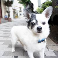 Wanted: A friend for Panjuro the Chihuahua