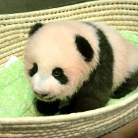 Giant panda cub born at Ueno zoo named Xiang Xiang