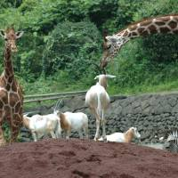 Japan boasts some zoos where animals have space to roam, such as Tokyo's Tama Zoological Park, while other parks have been criticized by animal welfare advocates for their cramped enclosures.   KYODO