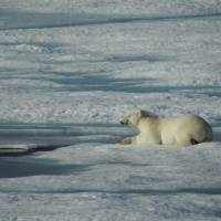 Going with the floe:  A polar bear relaxes on an ice floe in the Canadian Arctic near Cornwallis Island in the northern territory of Nunavut. | TAKESHI SAKOH