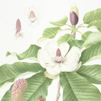 Magnolia obovata: Watercolor by Mieko Konishi, painted from a flowering specimen collected on Mount Iwane, Kawanishi, Hyogo Prefecture, and showing flowers at three different stages. | © MIEKO KONISHI