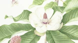 Magnolia obovata: Watercolor by Mieko Konishi, painted from a flowering specimen collected on Mount Iwane, Kawanishi, Hyogo Prefecture, and showing flowers at three different stages.
