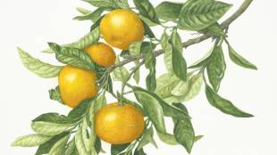 Citrus unshiu: Watercolor by Kayako Miyazawa, painted from fruiting specimens collected in Shizuoka.