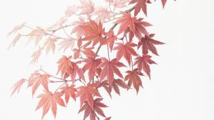 Acer palmatum: Watercolor by Kyoko Ohara, painted from a specimen collected at Ibaraki Nature Museum in Ibaraki Prefecture.