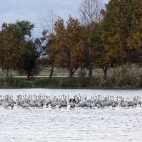 Migrating cranes rest at the Hula Nature Park in northern Israel Nov. 22. | REUTERS