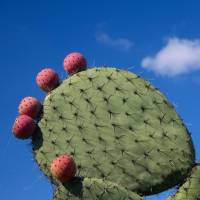 Experts call prickly pear cactus a 'miracle' crop for dry regions