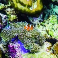 A clownfish swims among coral and sea anemones. | ISTOCK