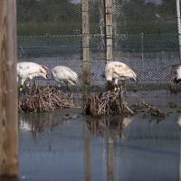 Rare cranes being introduced in Louisiana