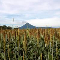 Wheat grows in a field near the Momotombo volcano outside Leon, Nicaragua, on Thursday. | REUTERS