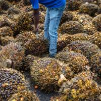A worker uses a palm fruit spear to remove bad bunches from a pile at the Bukit Senorang Palm Oil Mill in Pahang, Malaysia, in October. The use of palm oil as biomass is increasing in Japan but critics are questioning if it's safe for the environment. | BLOOMBERG