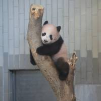 Xiang Xiang, a 6-month-old female panda, is seen climbing a tree at Ueno Zoo in Tokyo on Wednesday. | COURTESY OF TOKYO ZOOLOGICAL PARK SOCIETY