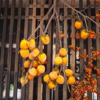 Hanging <em>shibugaki</em> (the tannic type of persimmon) out to dry is one way of removing the fruit's trademark bitterness. | MAKIKO ITOH