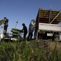 Farmers prepare rice seedlings in Ibaraki Prefecture in May. Once the effects of an 11-member Pacific Rim free trade agreement kick in, Japan's agricultural, forestry and fisheries output will suffer by a maximum of ¥150 billion, government estimates show. | BLOOMBERG