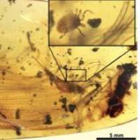 A Deinocroton draculi tick stuck to a dinosaur feather in fossilized amber. | NATURE COMMUNICATIONS / E. PENALVER