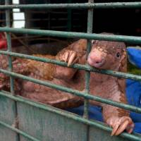 Indonesian pangolin faces extinction due to trafficking: study