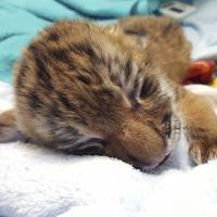 Connecticut zoo announces birth of rare Amur tiger cubs