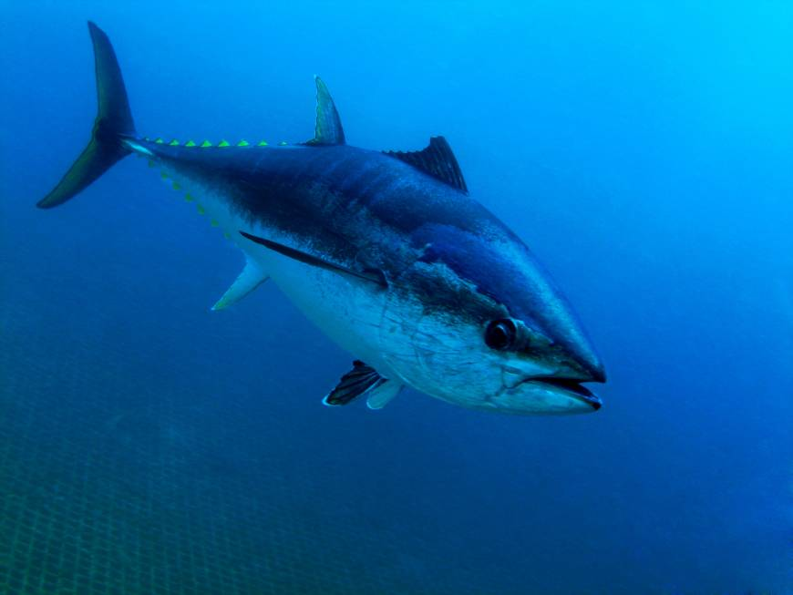 Japan to enforce penalties for bluefin catch quota violations starting next month