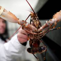 A worker holds a blue lobster at an international market near Paris on Wednesday. Japan and the EU have agreed on a free trade deal that eliminates tariffs on 82 percent of farm and fishery imports from the bloc. | REUTERS
