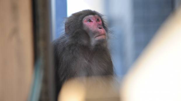 Monkey eludes capture as it's tracked throughout Tokyo