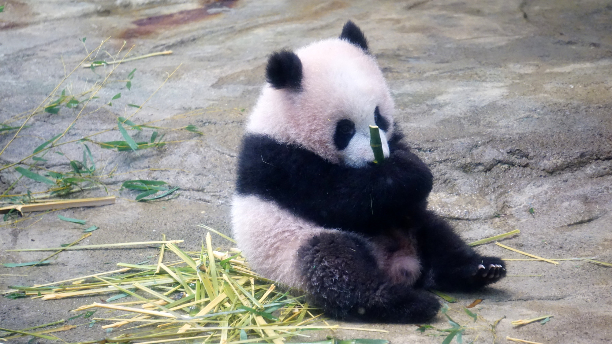 Xiang Xiang, a six-month-old giant panda cub, is seen at Ueno Zoo in Tokyo's Koto Ward on Monday ahead of her first public appearance on Tuesday. | MAGDALENA OSUMI