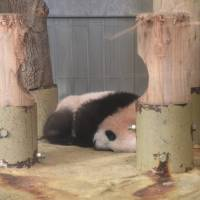 Xiang Xiang sleeps at Ueno Zoo in Tokyo on Wednesday. | TOKYO ZOOLOGICAL PARK SOCIETY